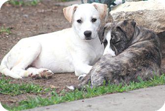 Labrador Retriever/Collie Mix Dog for adoption in Allentown, Pennsylvania - Sally Ann