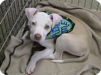 Pit Bull Terrier Puppy for adoption in Sacramento, California - Ruger