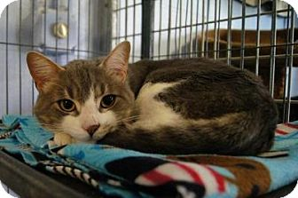 Domestic Shorthair Cat for adoption in New Milford, Connecticut - Smoke