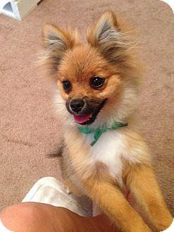 Pomeranian Puppy for adoption in conroe, Texas - Tulsa