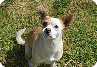 Chihuahua Mix Dog for adoption in Santa Barbara, California - Boone Doggie