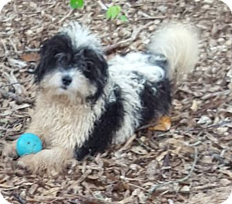 Poodle (Toy or Tea Cup) Puppy for adoption in Alpharetta, Georgia - Princeton