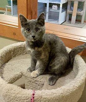 Domestic Longhair Kitten for adoption in Diamondville, Wyoming - Faith