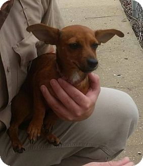 Chihuahua/Dachshund Mix Dog for adoption in Lincoln, Nebraska - KEEBLER