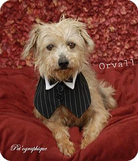 Schnauzer (Miniature)/Yorkie, Yorkshire Terrier Mix Dog for adoption in Las Vegas, Nevada - Orvall