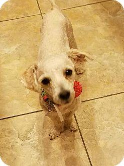 Toy Poodle/Maltese Mix Dog for adoption in Goodyear, Arizona - Journie