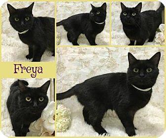 Domestic Shorthair Cat for adoption in Joliet, Illinois - Freya