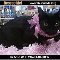 Domestic Shorthair Cat for adoption in Beaumont, Texas - Savanna Banana