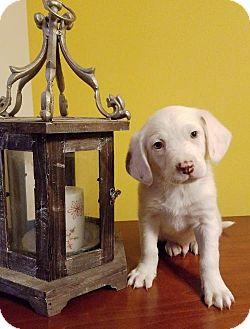 Labrador Retriever Mix Puppy for adoption in Newark, Delaware - Logan
