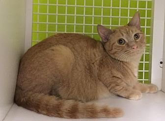 Domestic Shorthair Cat for adoption in San Antonio, Texas - Ringo