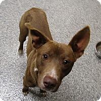 Adopt A Pet :: Ollie - Barnegat, NJ