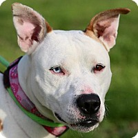 Adopt A Pet :: Olive - St. Charles, MO