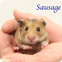 Adopt A Pet :: Sausage - Bradenton, FL