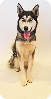 Husky Mix Dog for adoption in Fruit Heights, Utah - Nova