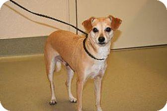 Chihuahua Mix Dog for adoption in Wildomar, California - Sam