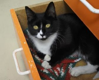 Domestic Shorthair/Domestic Shorthair Mix Cat for adoption in Potsdam, New York - Shan