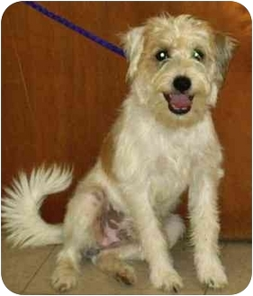 Terrier (Unknown Type, Small) Mix Dog for adoption in Osseo, Minnesota - Scrappy