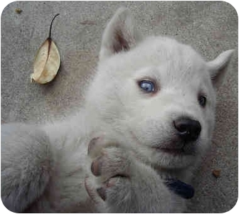 Siberian Husky Mix Puppy for adoption in Los Angeles, California - Fleming