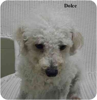 Bichon Frise/Poodle (Miniature) Mix Dog for adoption in Slidell, Louisiana - Dolce
