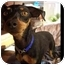 Photo 3 - Miniature Pinscher Dog for adoption in Phoenix, Arizona - Fallon