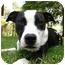 Photo 1 - American Staffordshire Terrier/American Bulldog Mix Dog for adoption in Mocksville, North Carolina - Geena