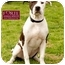 Photo 4 - American Staffordshire Terrier/Pointer Mix Dog for adoption in Marina del Rey, California - Elsie