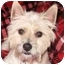 Photo 1 - Westie, West Highland White Terrier Dog for adoption in Frisco, Texas - Mikey