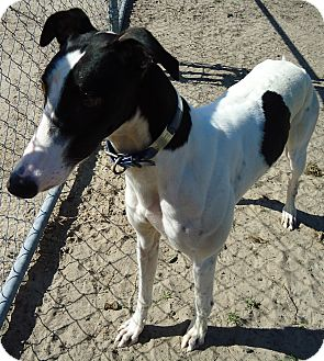 Greyhound Dog for adoption in Longwood, Florida - Caty's Avalance