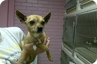 Chihuahua Dog for adoption in St. Petersburg, Florida - Sophie