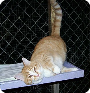 Domestic Shorthair Cat for adoption in Dover, Ohio - Slick