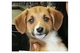 Beagle/Rat Terrier Mix Puppy for adoption in Pompton Lakes, New Jersey - George