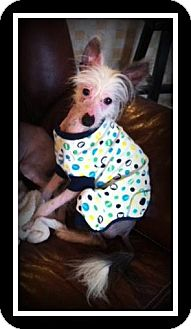 Chinese Crested Dog for adoption in Indian Trail, North Carolina - Stark
