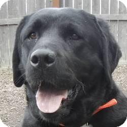 Labrador Retriever Mix Dog for adoption in Des Moines, Iowa - Laila