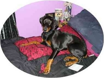 Doberman Pinscher Dog for adoption in Green Cove Springs, Florida - HANSUM