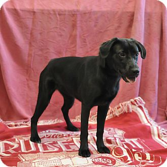 Labrador Retriever/Retriever (Unknown Type) Mix Dog for adoption in South Haven, Michigan - Nahla