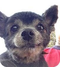 Pomeranian/Spaniel (Unknown Type) Mix Dog for adoption in Santee, California - Miss Lou