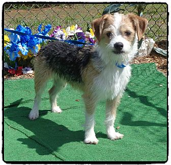 Terrier (Unknown Type, Small) Mix Dog for adoption in Marietta, Georgia - NOAH