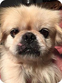 Pekingese Dog for adoption in Indianapolis, Indiana - Keller