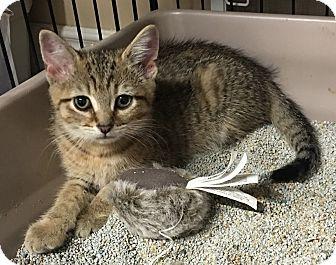 Domestic Shorthair Cat for adoption in Loogootee, Indiana - Cinna