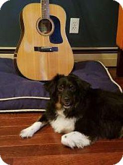 Australian Shepherd Dog for adoption in Marlton, New Jersey - Joey