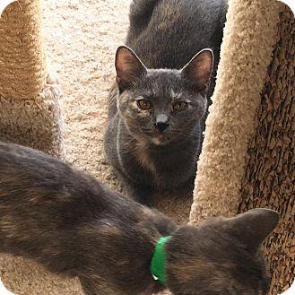 Domestic Shorthair Kitten for adoption in Westminster, California - Kendal