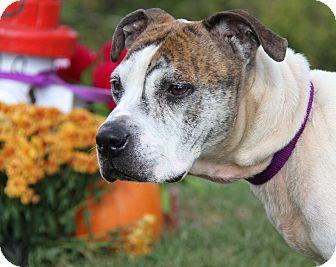 Boxer Mix Dog for adoption in Marietta, Ohio - Kayne (Neutered)