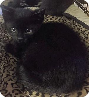 Bombay Kitten for adoption in Forest Hills, New York - Star