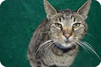 Domestic Shorthair Cat for adoption in Monroe, Michigan - Khan