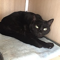 Domestic Shorthair Cat for adoption in Wilmington, Delaware - Smokey