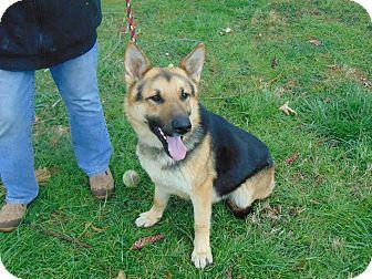 German Shepherd Dog Mix Dog for adoption in Portland, Maine - Viking