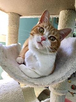Domestic Shorthair Cat for adoption in Parker Ford, Pennsylvania - Tippy
