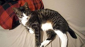 Domestic Mediumhair Cat for adoption in Glendale, Arizona - LOKI