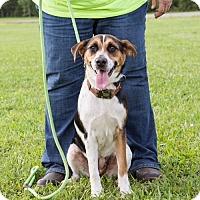 Adopt A Pet :: Harley - Hershey, PA