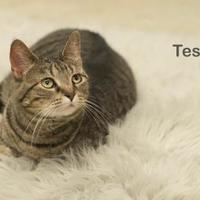Adopt A Pet :: Tesla - West Des Moines, IA